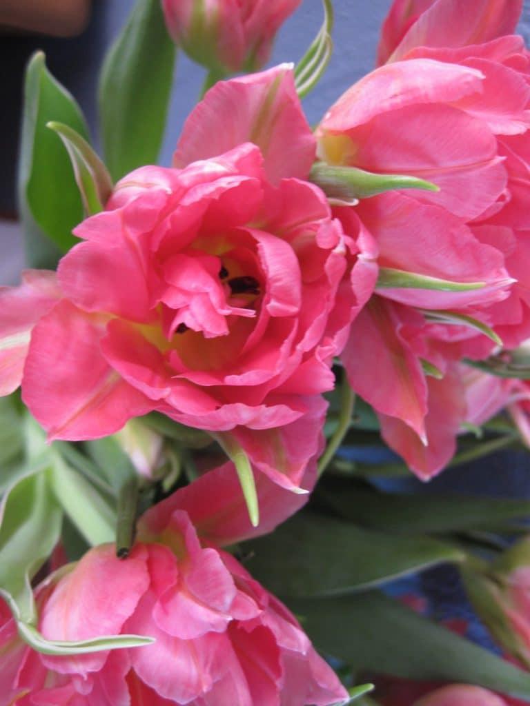 tulipaner, lyserød