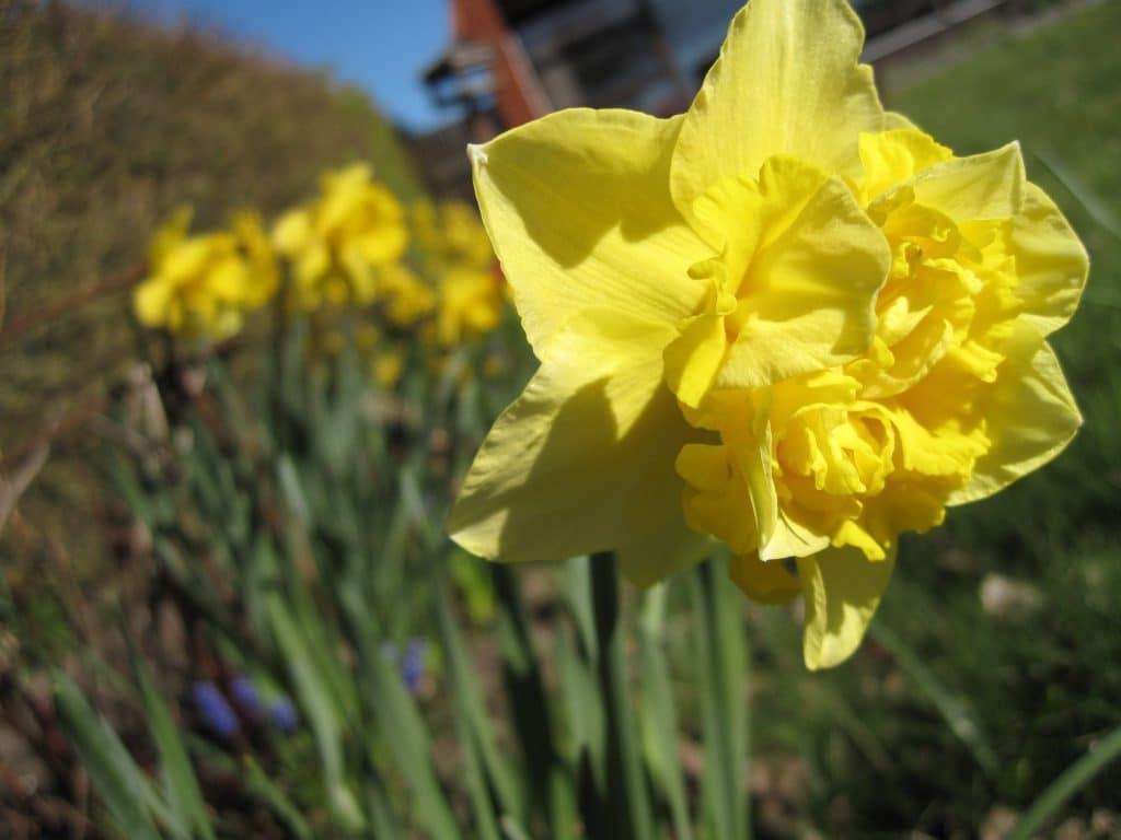 blomster, påskeliljer, farver, smukt, forår