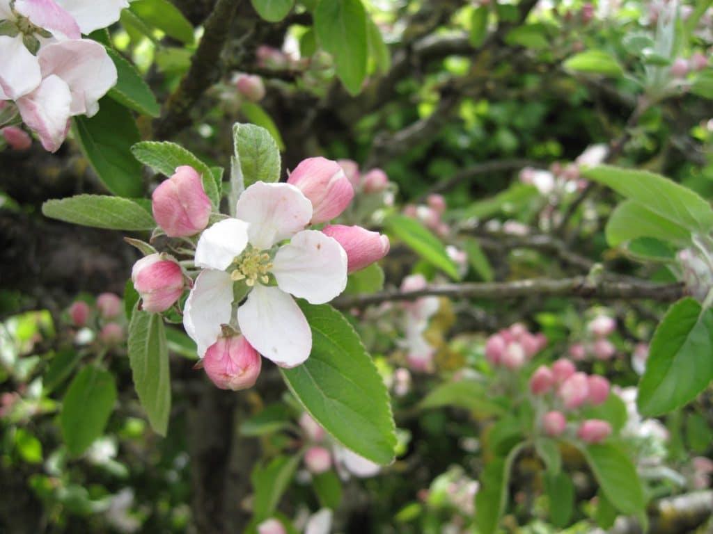 blomstrer, haven, træer, træ, have, blomst, frugt