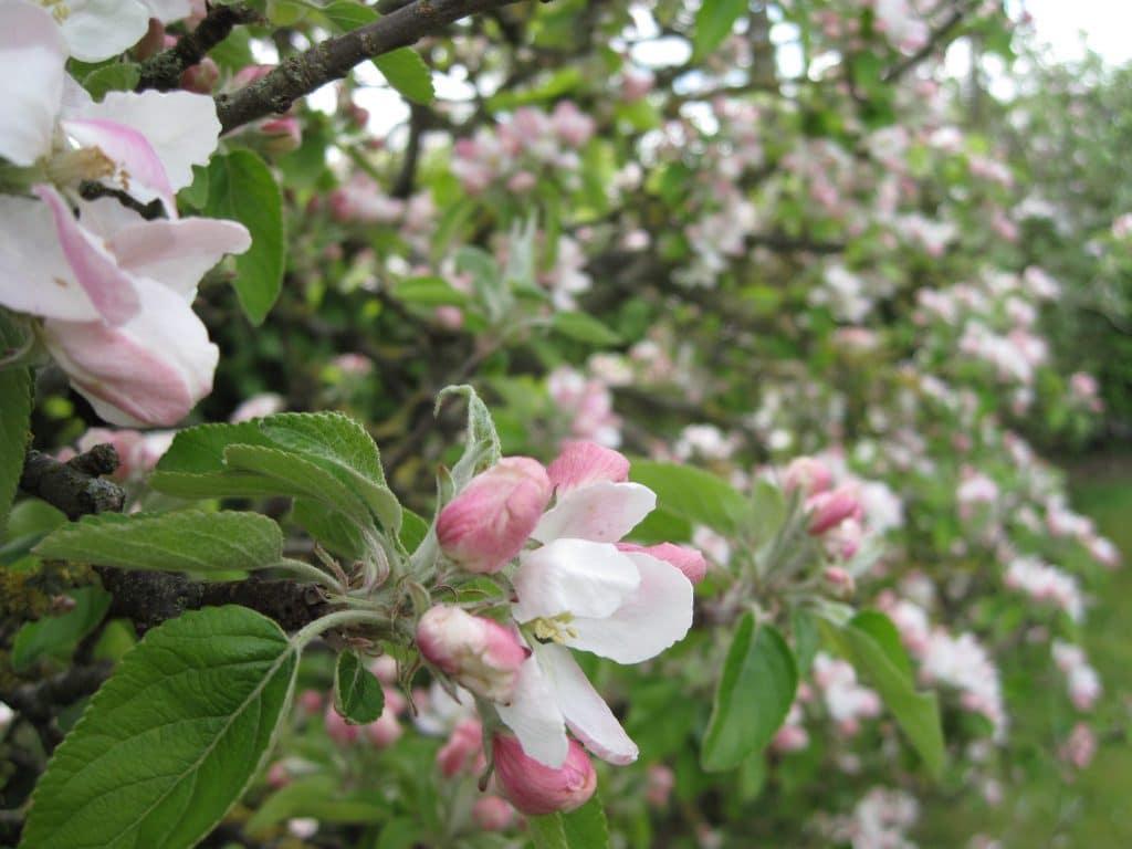 blomstrer, haven, træerne, træer, træ, have, blomst, frugt