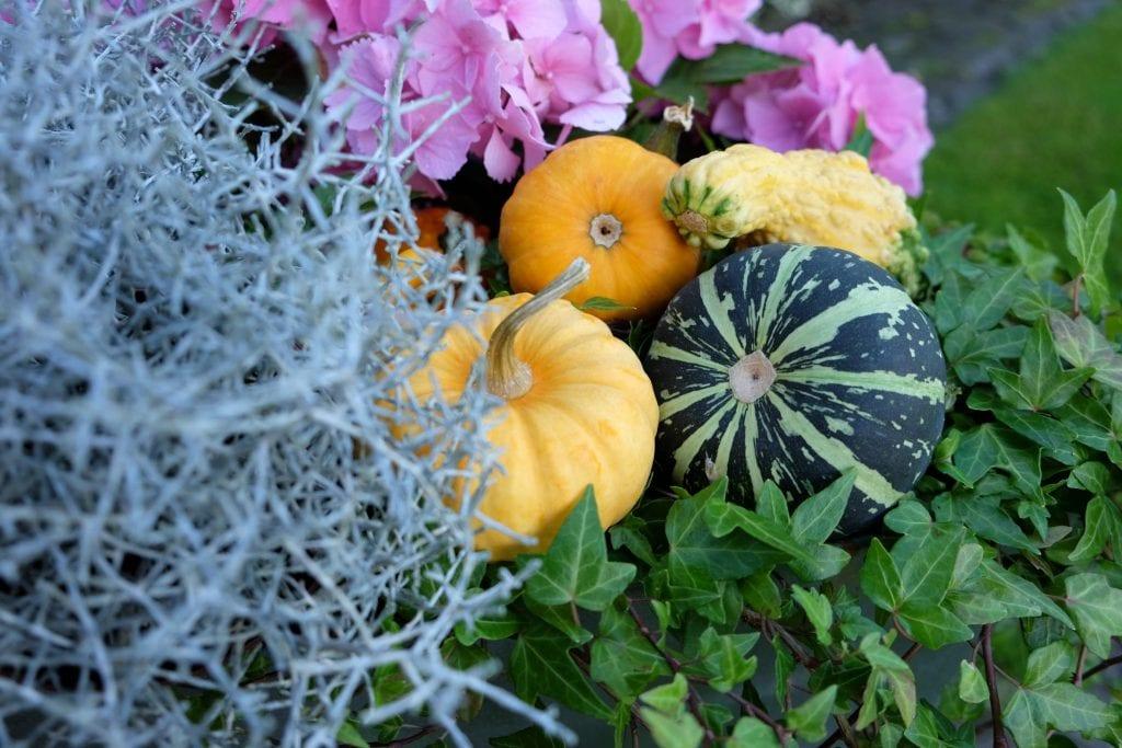 pyntegræskar, efterår, græskar, fall