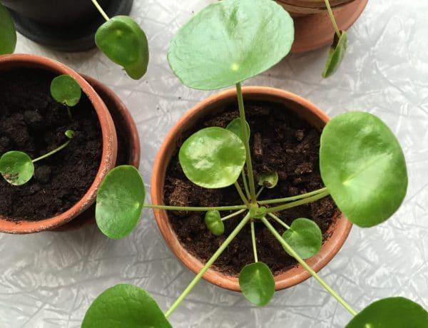 planter, søndag, særlig, sensitiv, pilea, plante, grøn, grønne, fingre