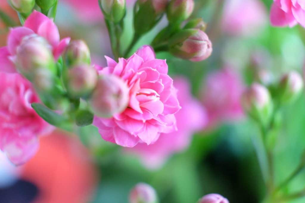 påske, blomster, smukt, smuk, lyserøde, pink
