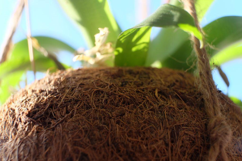 hængeplante, plante, kokos, kokosophæng, grønt