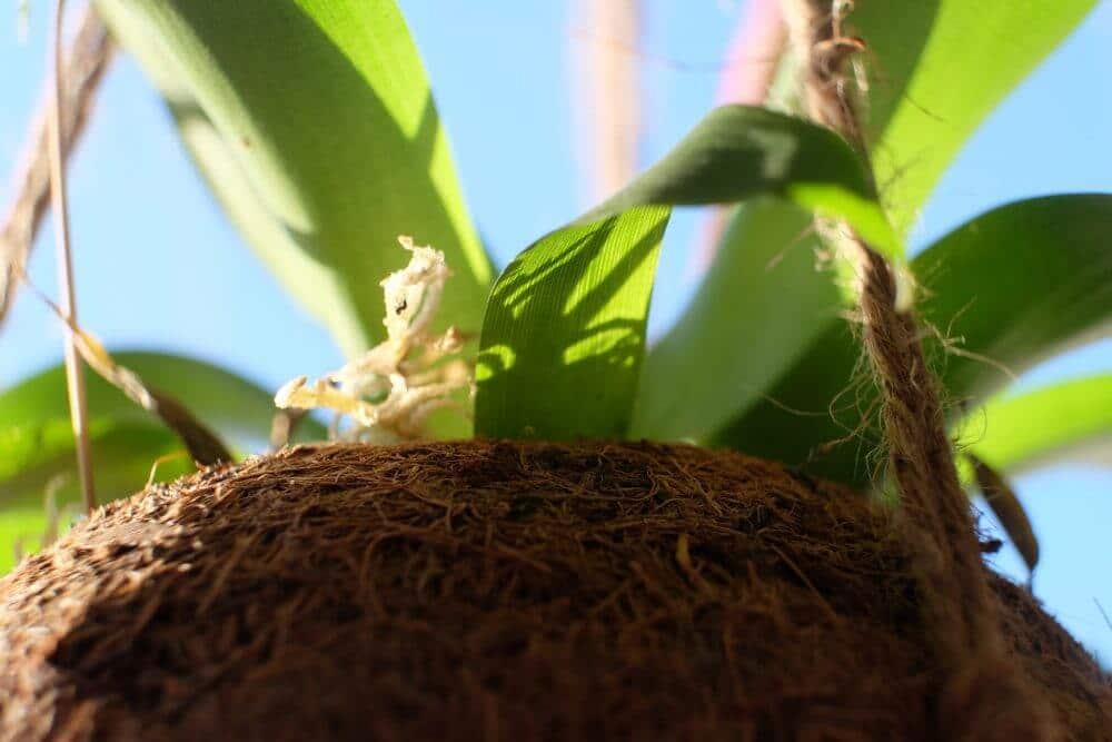hængeplante, plante, kokos, kokosophæng, grønt, planter