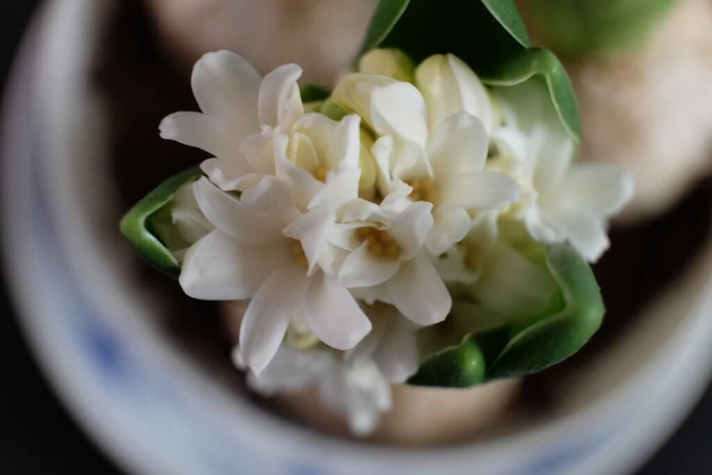 Friske blomster på mit spisebord, vibeæg, hyacinter