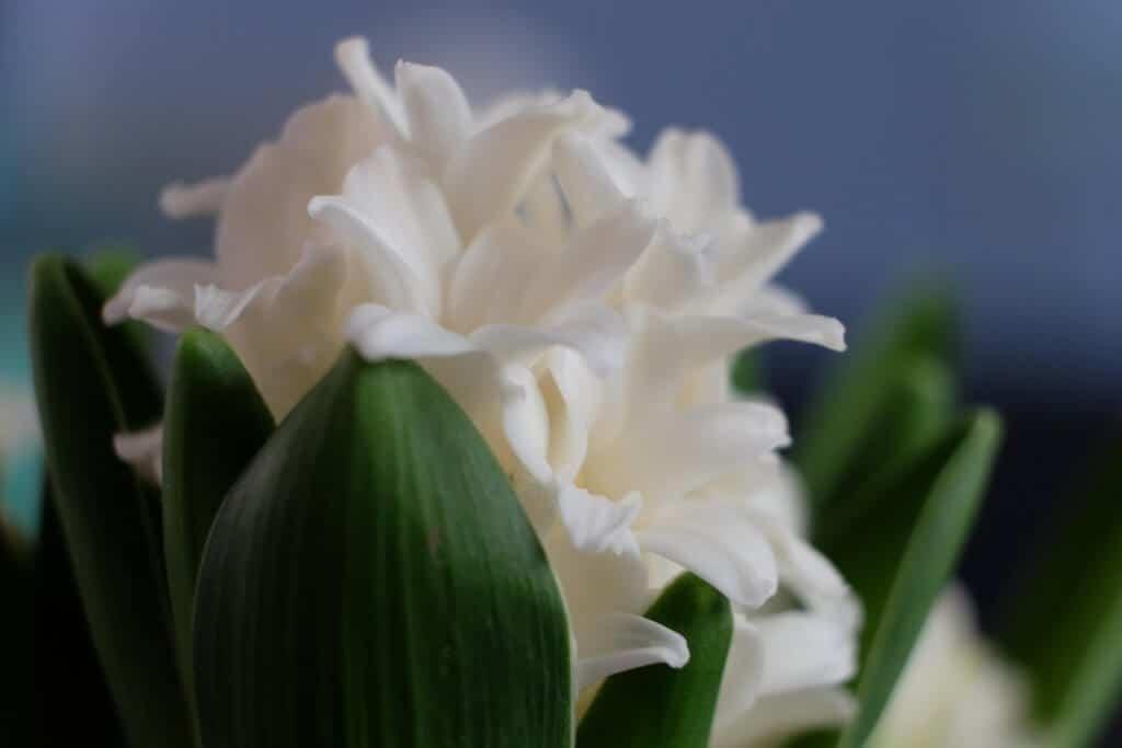 Friske blomster på mit spisebord, vibeæg, hyacinter, hyacint, hvid